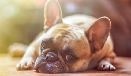Researchers find CBD improves arthritis signs in pet dogs